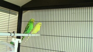 Das Vogelpärchen Hänsel und Gretel